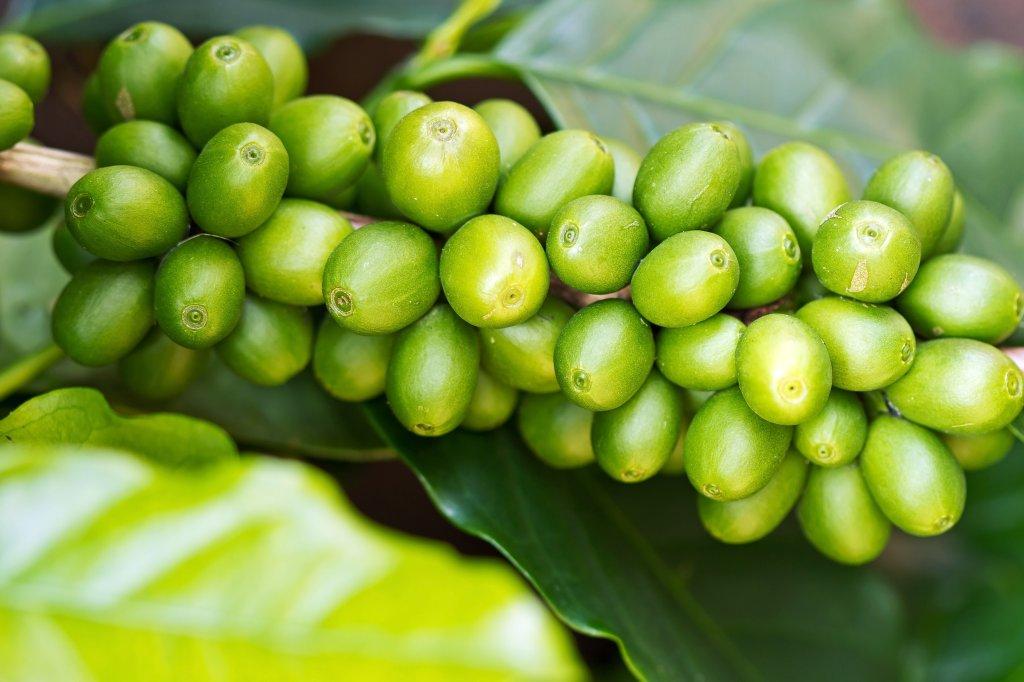 Grüner Kaffee Mit Ingwer gesund abnehmen einfach mit grüner kaffee dr hittich bild