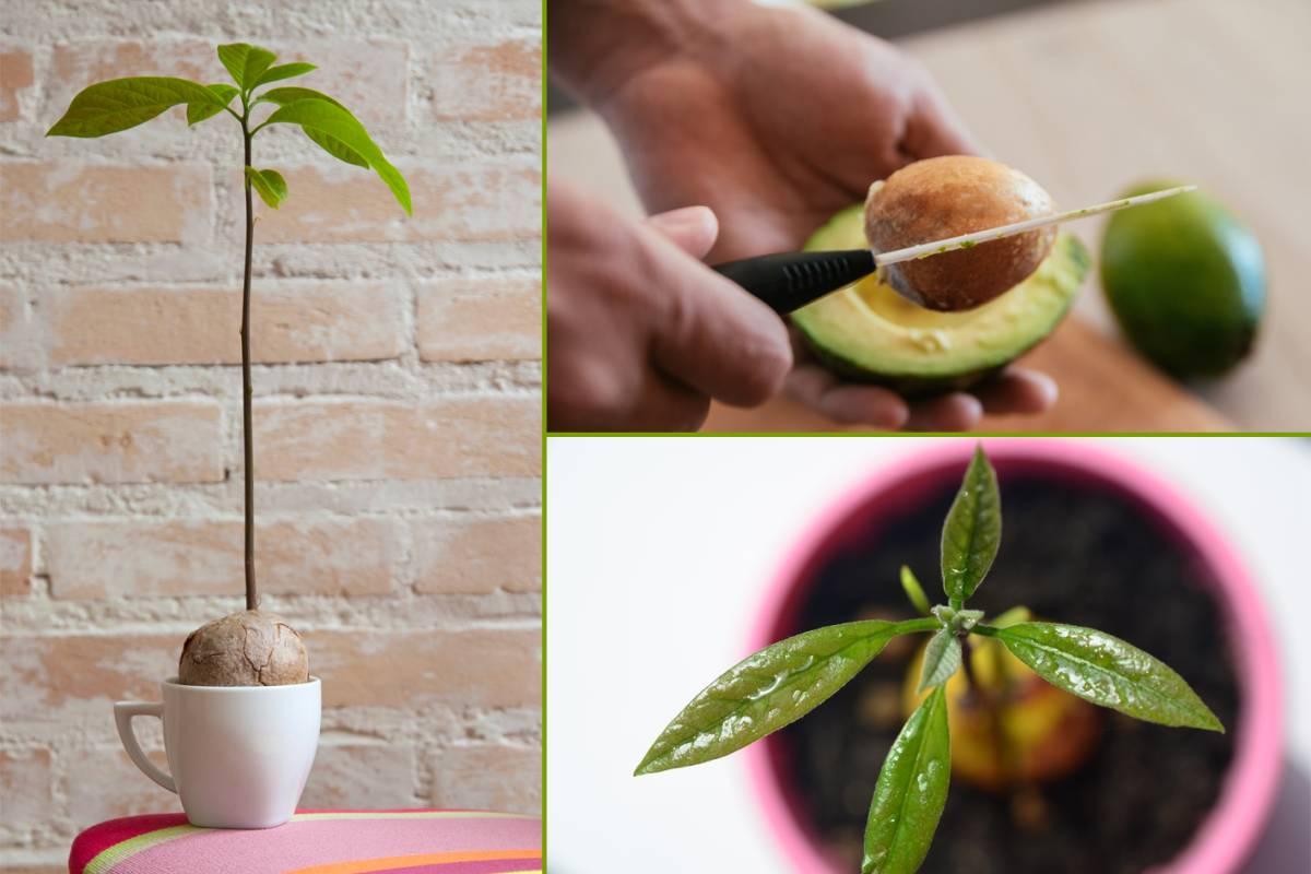 Relativ Avocado züchten: selbst anbauen statt kaufen - bildderfrau.de YX57