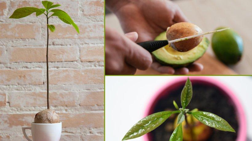 avocado z chten selbst anbauen statt kaufen. Black Bedroom Furniture Sets. Home Design Ideas