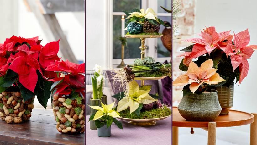 Kreative Ideen Mit Weihnachtssternen Bildderfrau De