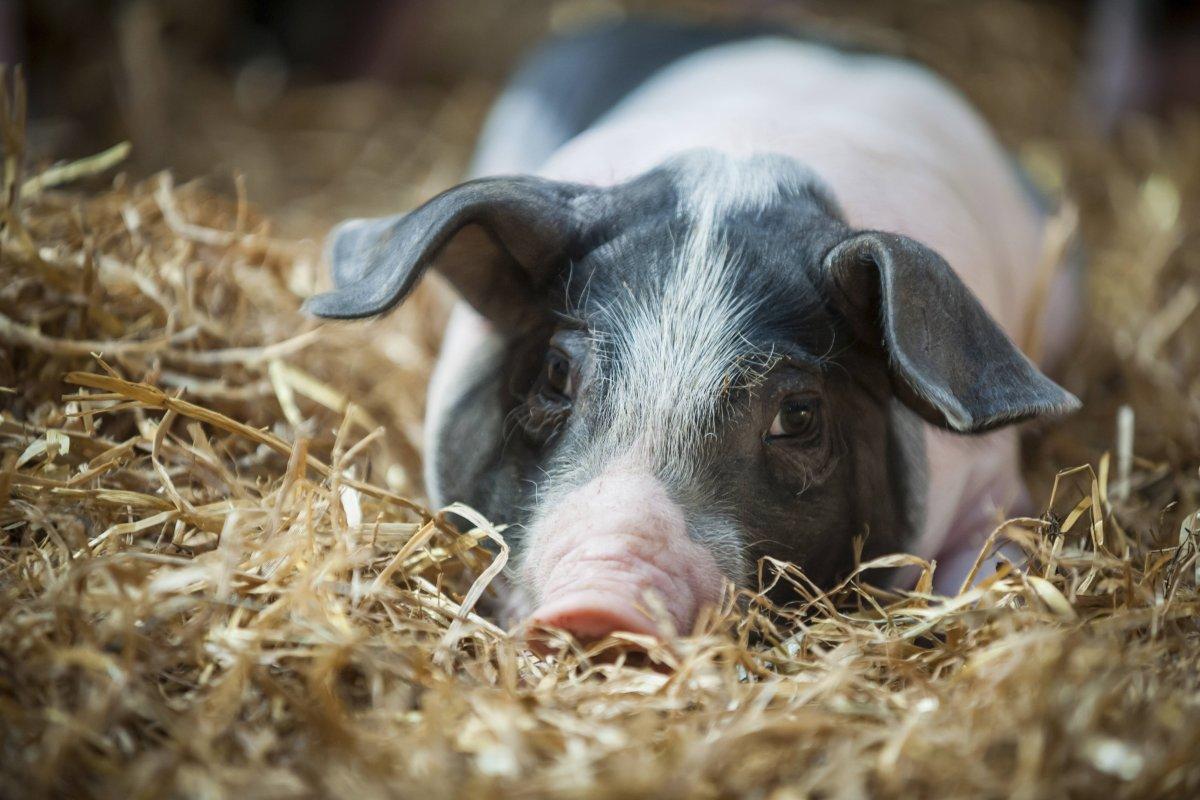 Meat the Family: Dem Fleisch entsagen oder Haustier essen