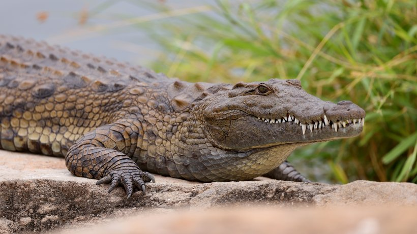 In Südafrika sind mehrere Krokodile ausgebrochen