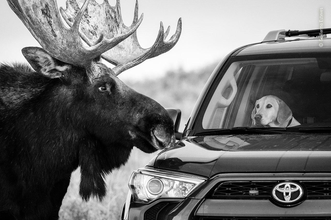 Der besorgt aussehende Ausdruck auf dem Gesicht dieses Hundes spricht Bände und erinnert daran, dass Elche große, unberechenbare, wilde Tiere sind. Fotograf Guillermo Esteves machte diese Aufnahme am Straßenrand in Antelope Flats im Grand Teton National Park in Wyoming, USA, als der große Elchbulle sich für den kleinen Besucher interessierte. Zum Glück verlor das riesige Tier das Interesse und machte sich nach wenigen Augenblicken wieder auf den Weg.