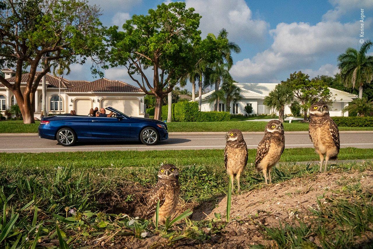 Marco Island liegt nur eine kurze Fahrt von den Everglades im US-Bundesstaat Florida entfernt. Sie ist die größte und einzige erschlossene Insel der rund zehntausend Barriereinseln. Dieser Rückzugsort an der Golfküste bietet Luxusresorts, wunderschöne Strände, millionenschwere Viertel und überraschenderweise eine blühende Gemeinschaft von Eulen, die ihre eigenen Höhlen graben. Sie lassen sich gerne auf sorgfältig gepflegten Rasenflächen niederl, denn die sind der perfekte Ort, um Insekten und Eidechsen zu jagen.