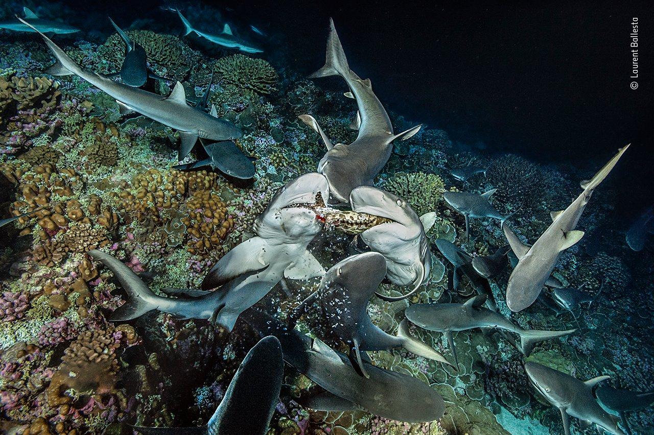 Reste eines Zackenbarschs fallen aus den Kiefern zweier grauer Riffhaie, während sie den Fisch auseinander reißen. Die Haie des Fakarava-Atolls in Französisch-Polynesien jagen in Rudeln, teilen  ihre Beute aber nicht. Ein einzelner Hai ist nicht in der Lage, um Beute wie einen Zackenbarsch zu fangen. Nachdem also mehrere gemeinsam gejagt haben, um den Fisch aus seinem Versteck im Riff zu vertreiben, umkreisen ihn die Haie, konkurrieren dann aber um die Beute – nur wenige Haie bekommen einen Teil des Fangs, die meisten von ihnen bleiben mehrere Nächte lang ohne Nahrung.