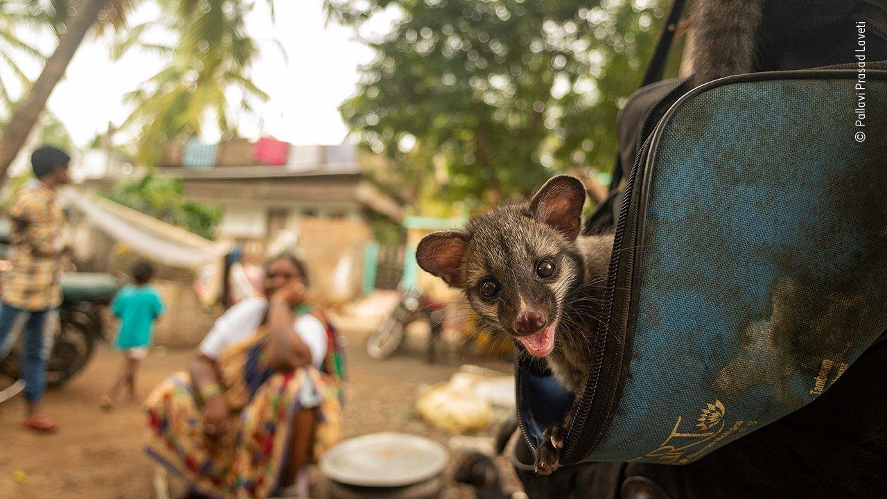 Ein freches asiatisches Zibetkätzchen guckt aus einer Tasche in einem kleinen abgelegenen Dorf in Indien – Neugier und Verspieltheit leuchten in seinen Augen. Dieses Tier-Baby war verwaist und lebt jetzt in einem Dorf – in Gesellschaft von Einheimischen und gemäß der Philosophie leben und leben lassen. Fotografin Pallavi Prasad Laveti sieht darin ein Bild der Hoffnung, denn in anderen Teilen der Welt werden die Zibetkatzen für die Kaffeeproduktion von Kopi Luwak gefangen gehalten (Kaffeebohnen werden nur teilweise verdaut und dann ausgeschieden) – in winzigen, unhygienischen Batteriekäfigen und zwangsernährt von Kaffeebohnen.