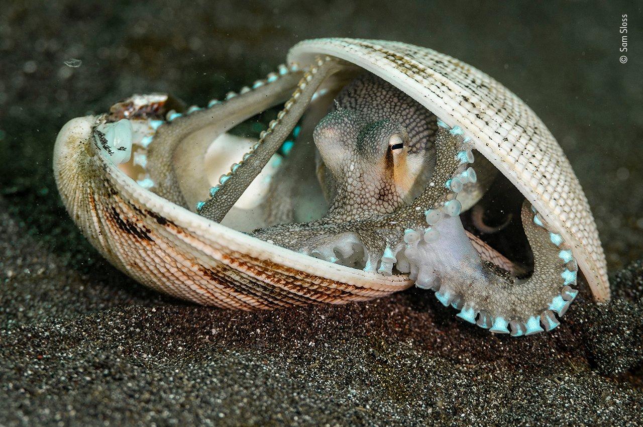 Dieser Ader-Oktopus wurde im schwarzen Sand vor der indonesischen Insel Sulawesi aufgenommen – geschützt in einem Haus aus Muscheln. Bemerkenswerterweise bauen diese kleinen Tintenfische auch aus  Kokosnüssen und sogar Glasflaschen ihren eigenen Schutzraum!   Sie wissen, dass bestimmte Arten und Größen von Muscheln ihre Vorteile haben – sei es als Schutz, als Tarnung, um sich vor Beute oder auch vor Raubtieren zu verstecken. Man kann mit Sicherheit sagen, dass diese Tiere mit zu den  einfallsreichsten und klügsten Kreaturen im Ozean gehören.
