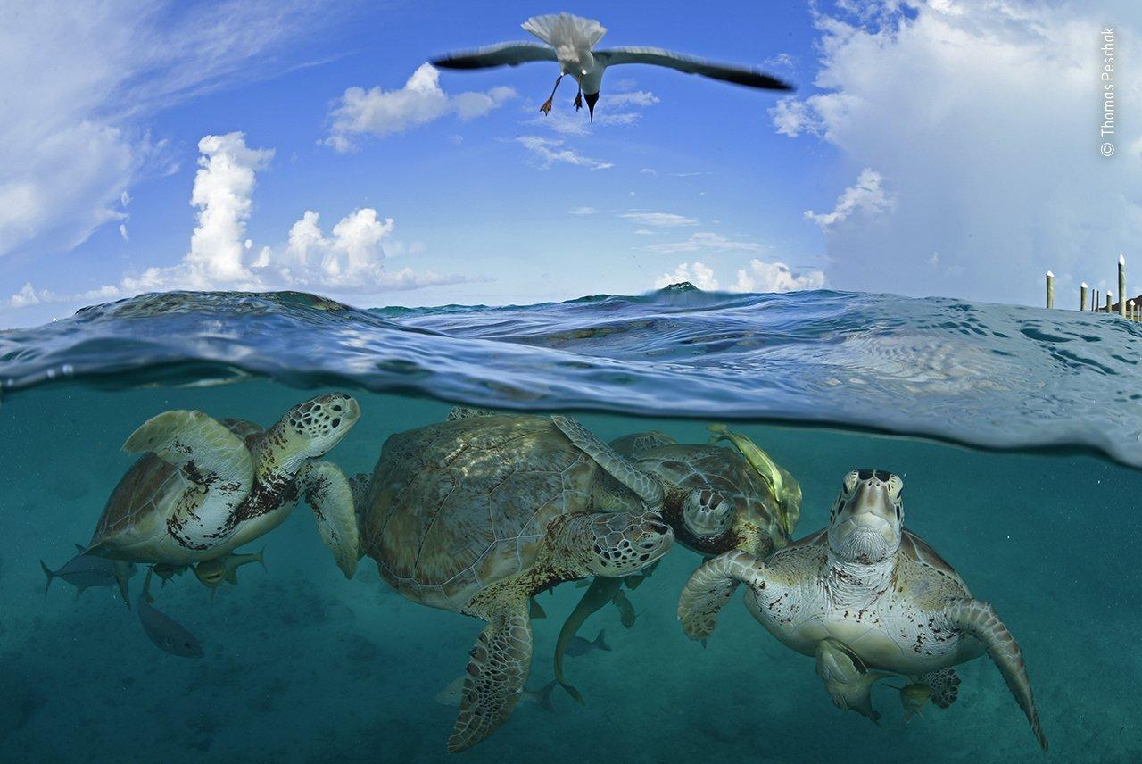 Während der Karibikreise von Christoph Kolumbus im Jahr 1494 sollen grüne Meeresschildkröten so zahlreich gewesen sein, dass seine Schiffe fast auf Grund gelaufen wären. Heute wird die Art als gefährdet eingestuft. An Orten wie Little Farmer's Cay auf den Bahamas können grüne Schildkröten jedoch problemlos beobachtet werden. Ein Ökotourismus-Projekt von Fischern verwendet Muschelreste, um die Schildkröten zum Dock zu locken. Dieses Bild lässt zumindest erahnen, wie es in den Meeren einmal ausgesehen haben muss.