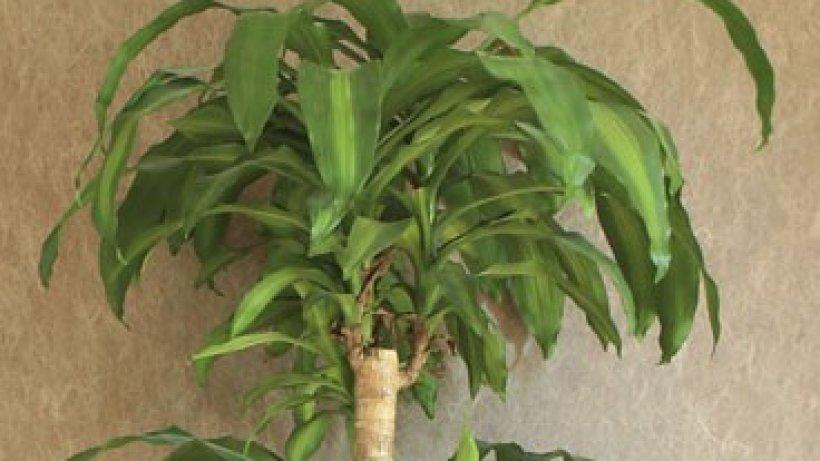 yucca palme bild der frau. Black Bedroom Furniture Sets. Home Design Ideas