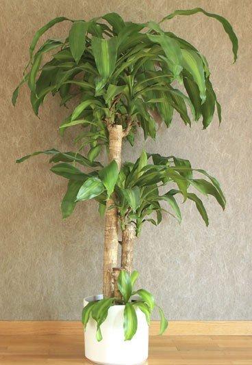 Zimmerpflanzen Palme yucca palme bild der frau