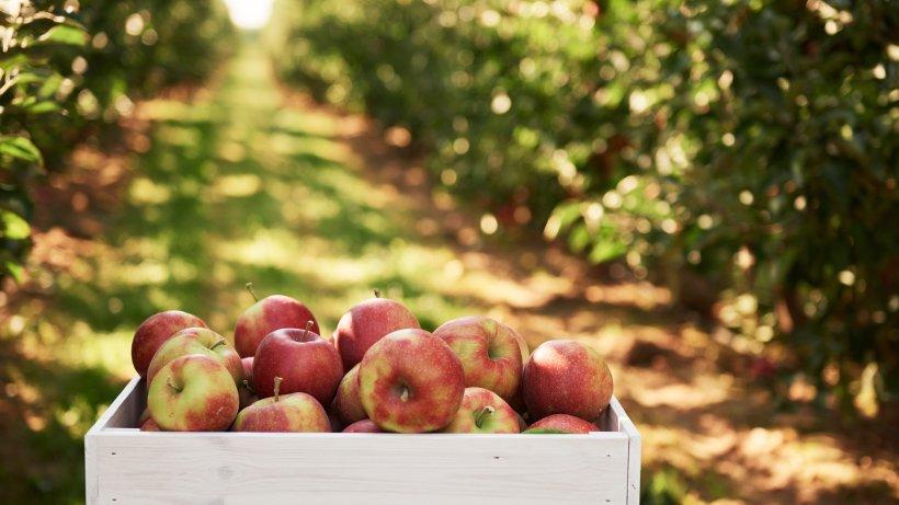 Nachgehakt: Welche Apfelsorten eignen sich am besten für Apfelkuchen?